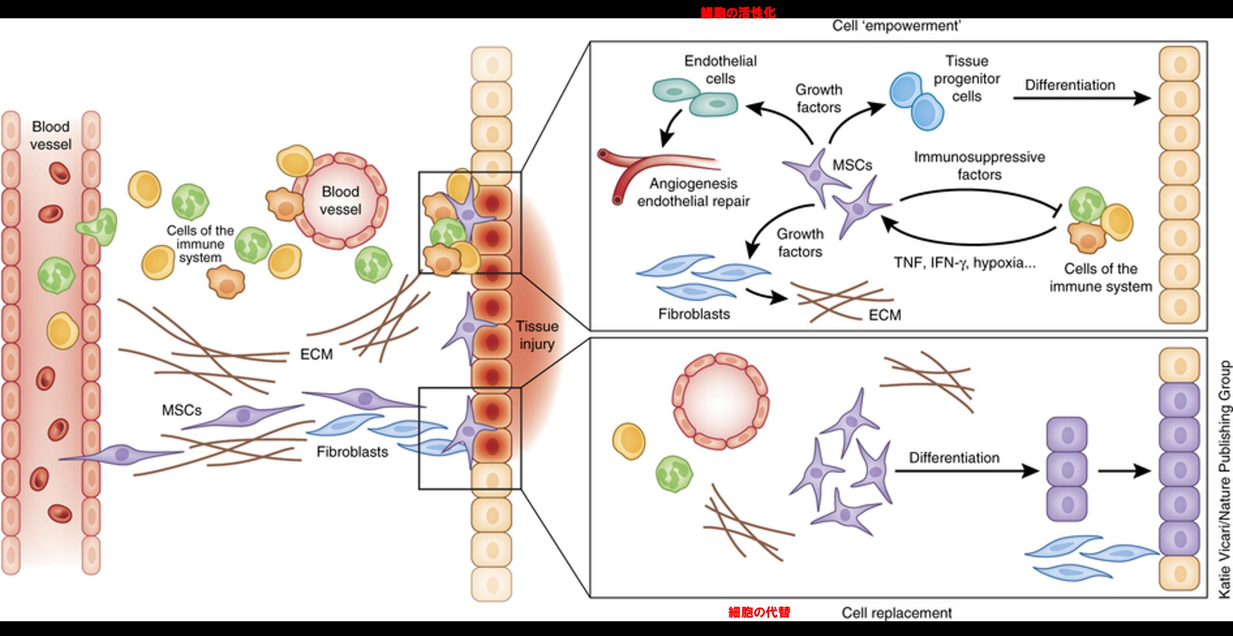 間葉系幹細胞治療の働き
